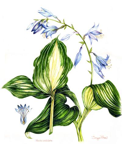 Hosta undulata