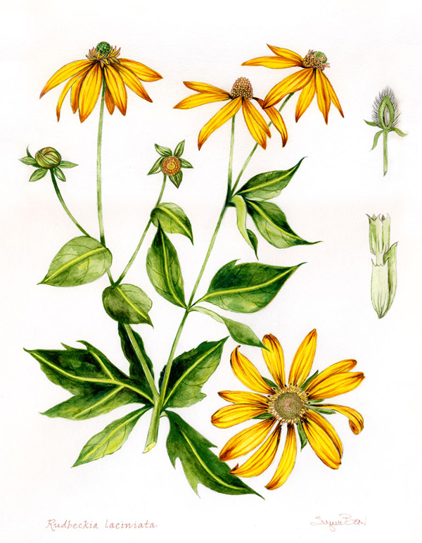 Botanical Watercolor  Rudbeckia